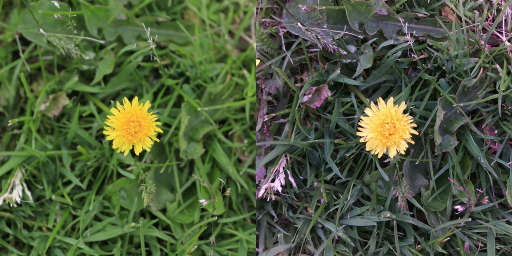 mobile and wide angle camera dandelion