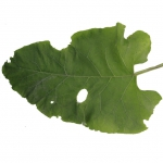 big green damaged burdock leaf autumn eaten old bush plant single separated isolated nature huge alpha masked transparent texture front view small preview