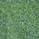 green lawn grass small narrow weed blades mix clover plant small leaves bright color Norway seamless texture