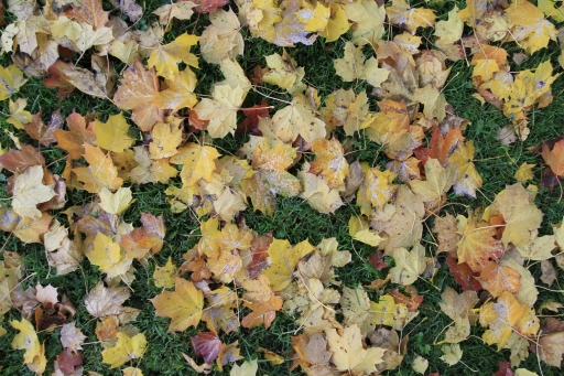 colorful-leaves-on-green-grass-different-colors-autumn-maple-tree-on-ground-soft-light-bright-texture-1024x682
