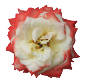 wild rose flower with red and white colors and transparent